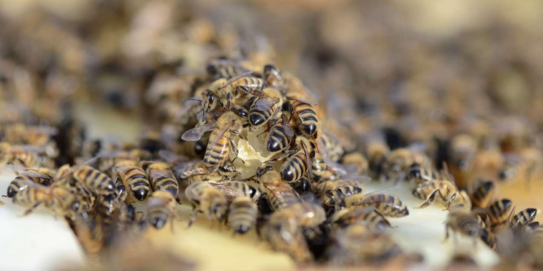 «Les abeilles sont menacées d'extinction en Europe»