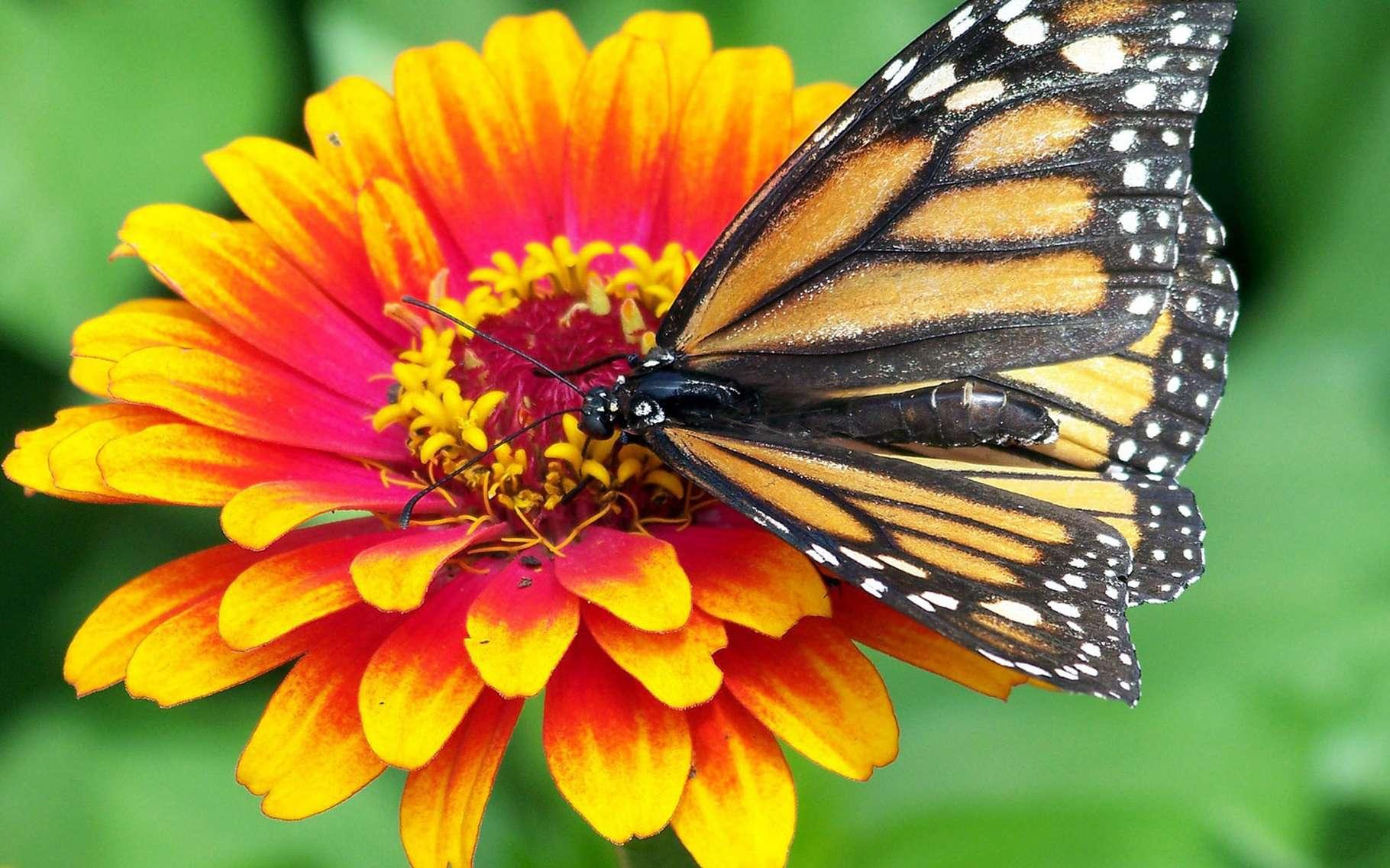 Biodiversité : le rôle des insectes pollinisateurs