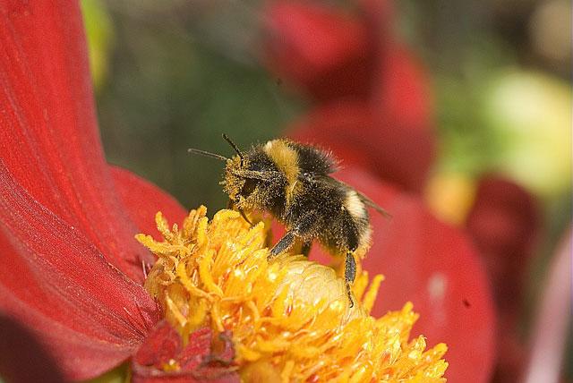 Comment attirer les pollinisateurs