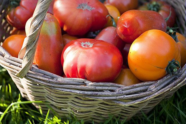 la culture des tomates selon leurs variétés