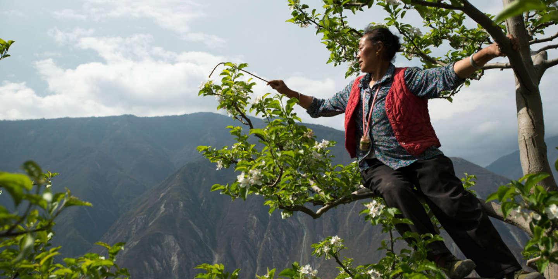 Dans le Sichuan, des «hommes-abeilles» pollinisent à la main les vergers