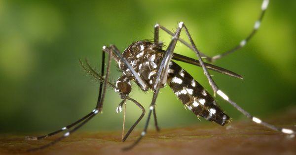 Le moustique-tigre en 10 questions