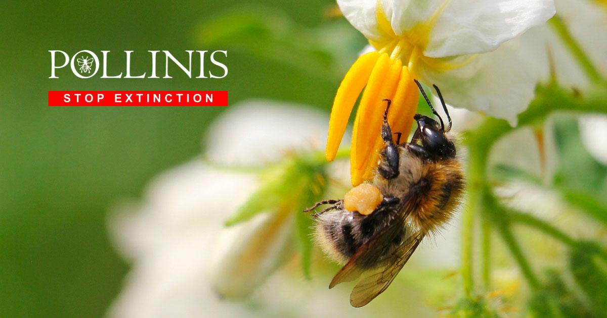 Abeilles - Pollinis