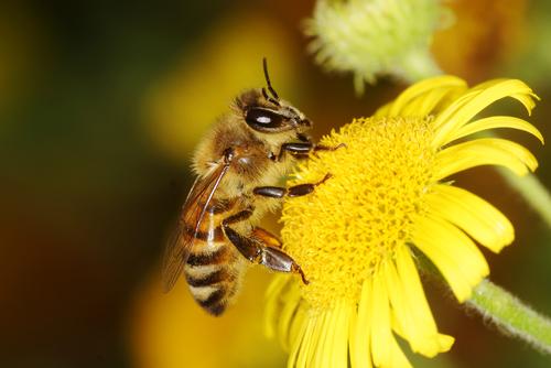 L'UE prête à sacrifier nos abeilles pour faire plaisir à Bayer