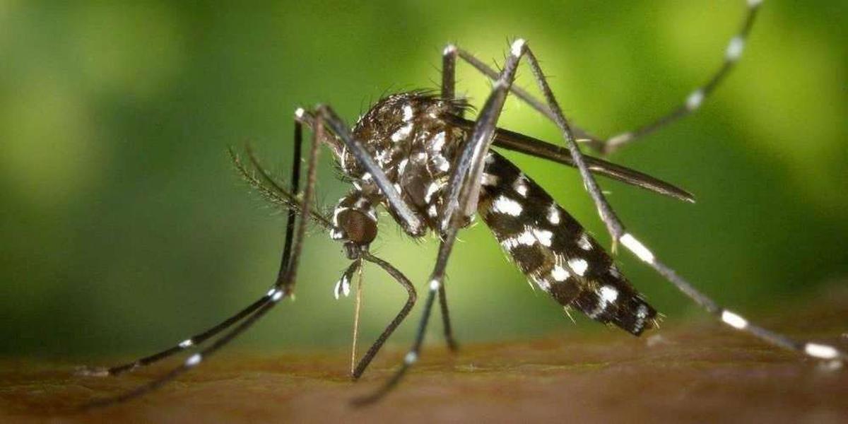 Zika, dengue et chikungunya : la progression du moustique tigre fait craindre une explosion de cas en France